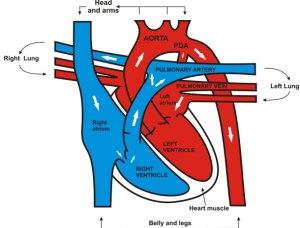 heart-anatomy