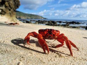 christmas-island-red-crab_24694_600x450