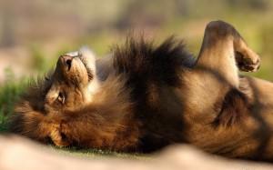 lion-basking-in-the-sun