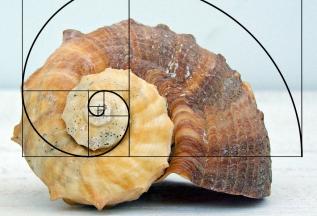fibonacci-whelk