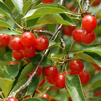 Montmorency-Cherry-Tree-350w